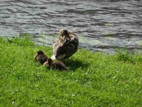 Trygg tupplur. Andmamma med ungar i Trädgårdsföreningen lördag 29 juni 2013 kl 17:33.