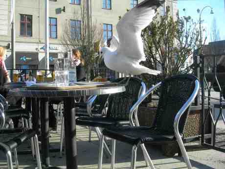 Mås smörjer krås med äppelkaka och vaniljsås. Café Cappuccino vid Kungsportsplatsen torsdag 4 april 2013 kl 17.37.