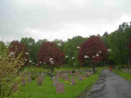 Måsflock på Kvibergs kyrkogård uppskrämd av Röde Cyklisten.Tisdag 21 maj 2013 kl 18.36.