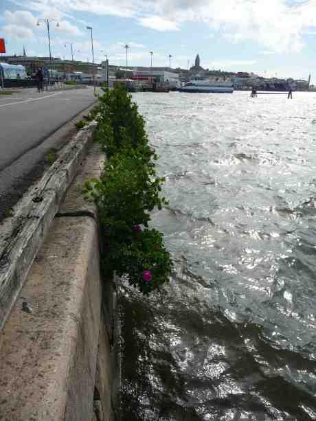 Doftande egensinniga röda rosor klänger på Skeppsbrokajen ut över Göta älvs bräckta vatten där Atlanten och Vänern möts. Fredag 14 juni 2013 kl 16:38.