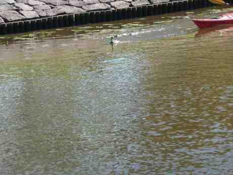 Galen kanotist jagar änder i Vallgraven vid Kungsportsbron. Tisdag 23 juli 2013 kl 17:26.