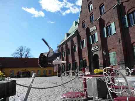 Högerregeln gäller även i luften för duvor och trutar. Kronhusgården måndag 14 april 2014 kl 15:46.