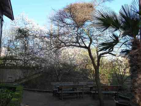 Magnolia, skatbo och palm = sommar? Trädgårdsföreningen tisdag 25 april 2014 kl 18:05.