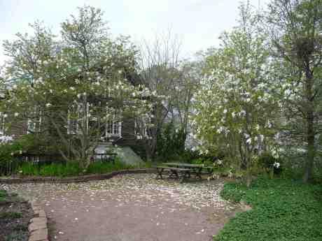 Magnolian i Trädgårdsföreningen strör nu frikostigt sina vita blomblad över marken. Tisdag 22 april 2014 kl 17:17.