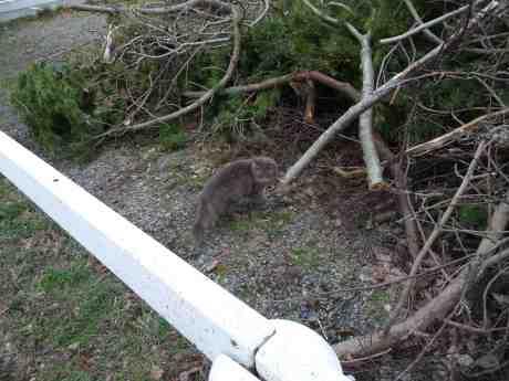 Skogskatt på Smithska udden lever farligt i påskbrasetider. Torsdag 10 april 2014 kl 16:40.