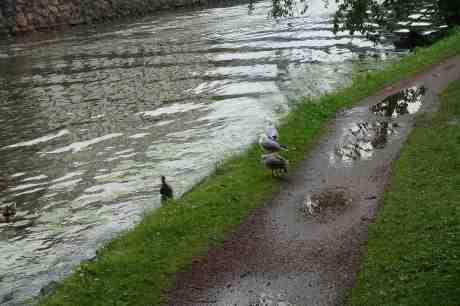 Vingbrutna måsungen med föräldrar möter en and. Vad tänker dom på? Trädgårdsföreningen tisdag 8 juli 2014 kl 17:40.